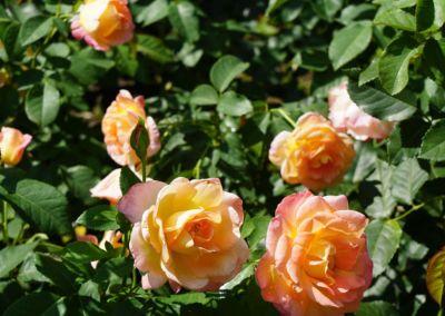 rosengarten bern-049